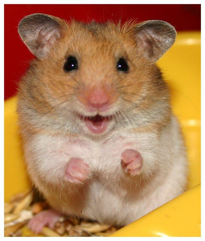 cute-hamster-21