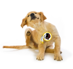 16 week old Golden Retriever puppy scratching fleas with leg in motion on a white background