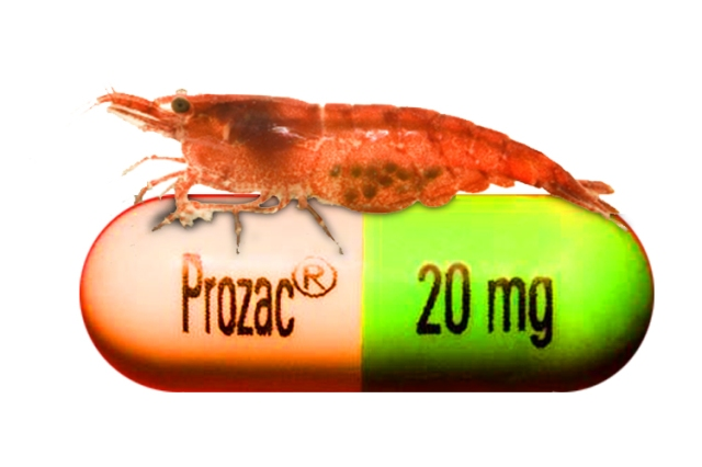 shrimp_on_prozac_are_killing_themselves